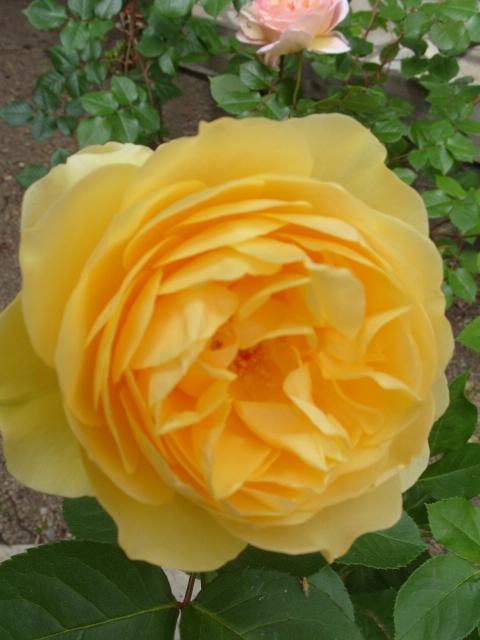 Petit album de roses - Page 4 S1050952