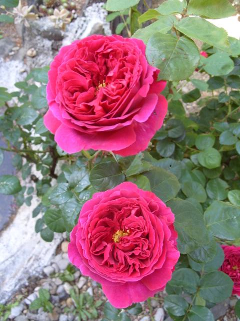 Petit album de roses - Page 4 S1050954