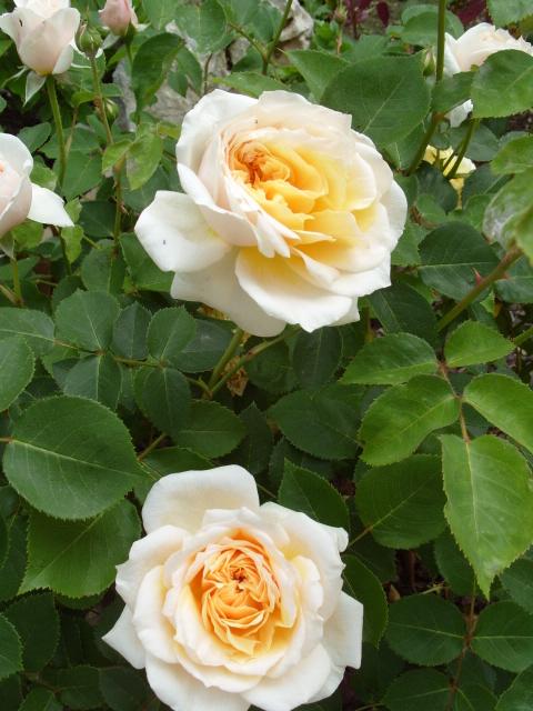 Petit album de roses - Page 4 S1050955
