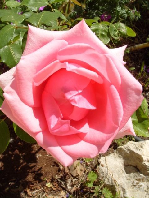 Petit album de roses - Page 4 S1050956