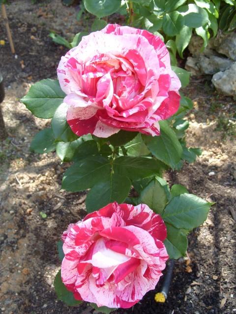 Petit album de roses - Page 4 S1050957