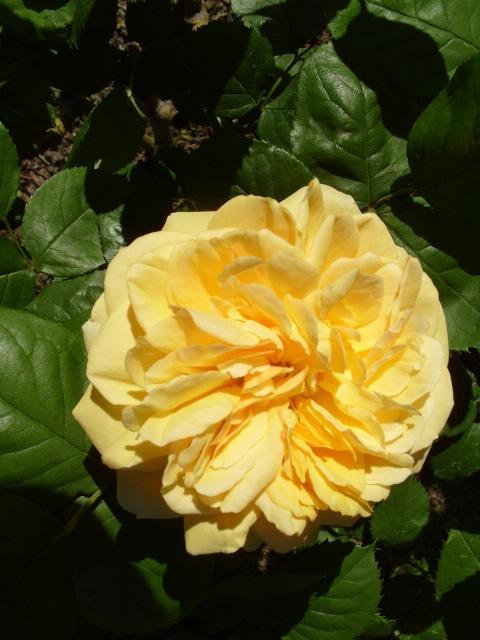 Petit album de roses - Page 4 S1050958
