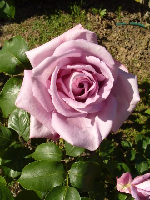 Petit album de roses - Page 4 S1050959