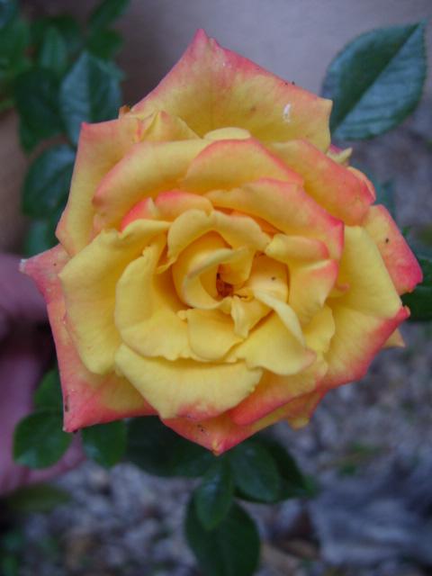 Petit album de roses - Page 4 S1050962