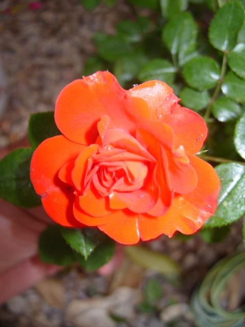 Petit album de roses - Page 4 S1050963