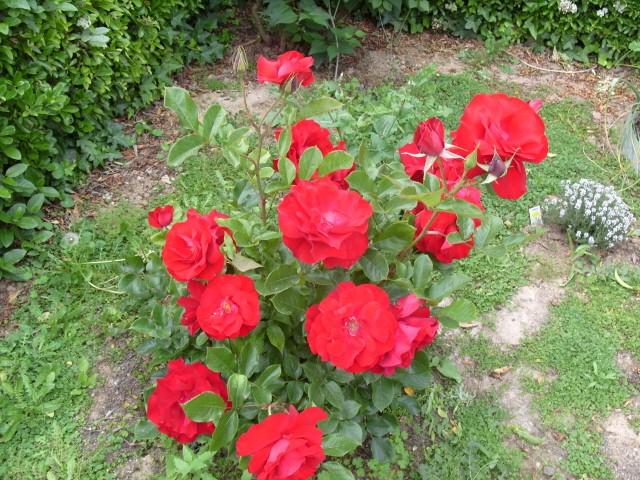 Petit album de roses - Page 4 S1051040