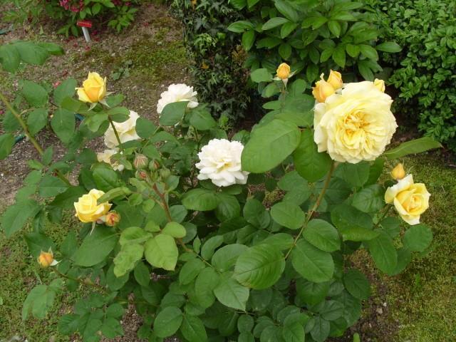 Petit album de roses - Page 4 S1051041