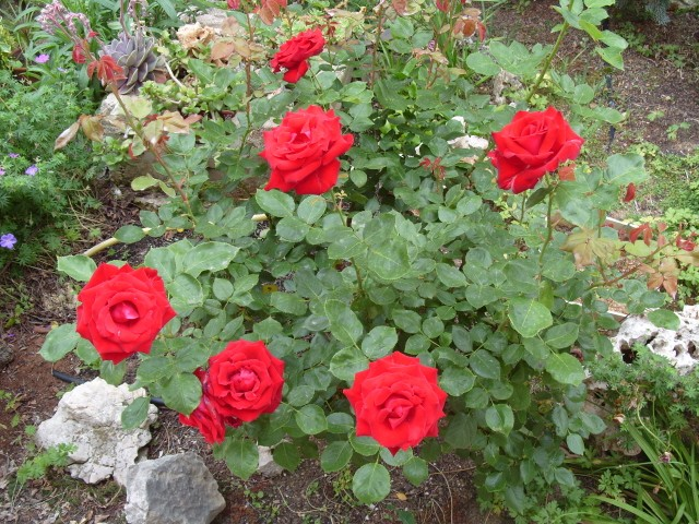 Petit album de roses - Page 4 S1051043