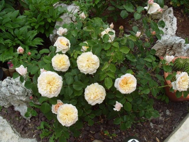 Petit album de roses - Page 4 S1051044