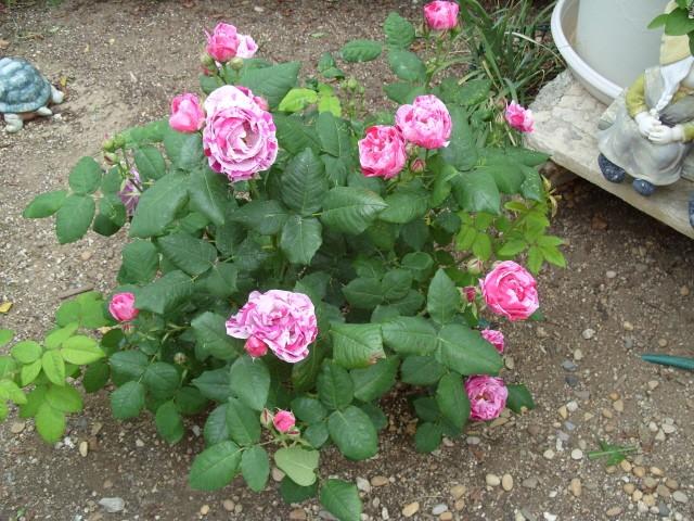 Petit album de roses - Page 4 S1051045