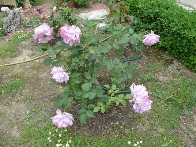 Petit album de roses - Page 4 S1051046