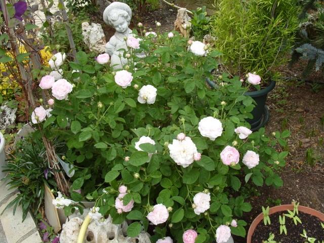 Petit album de roses - Page 4 S1051047
