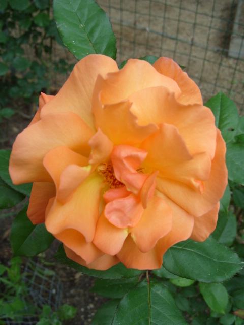 Petit album de roses - Page 4 S1051049