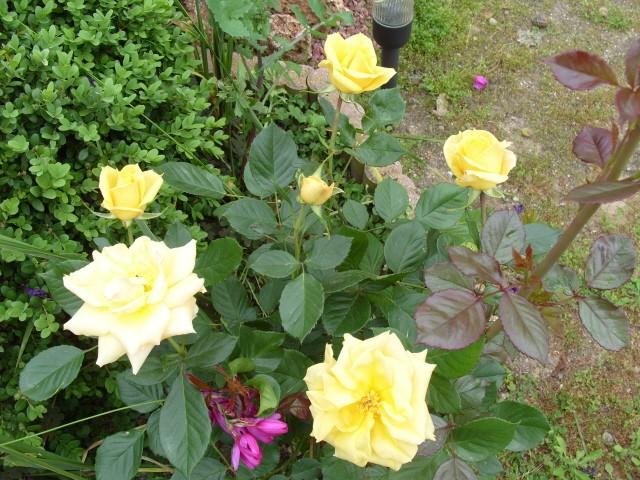 Petit album de roses - Page 4 S1051051