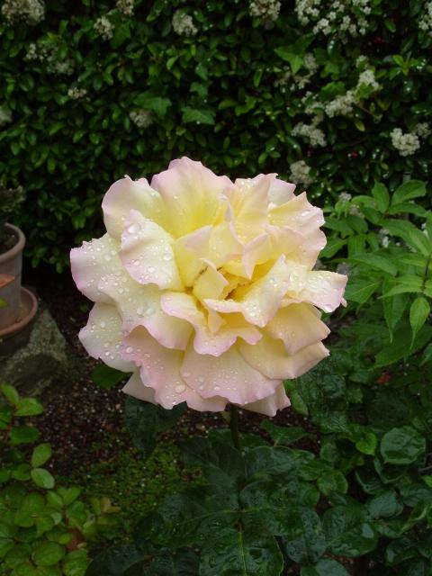 Petit album de roses - Page 4 S1051052