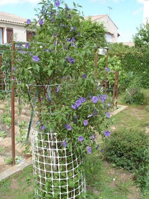 Solanum bleu S1051070
