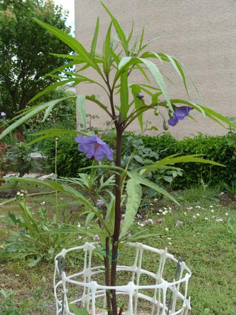 Solanum bleu S1051071