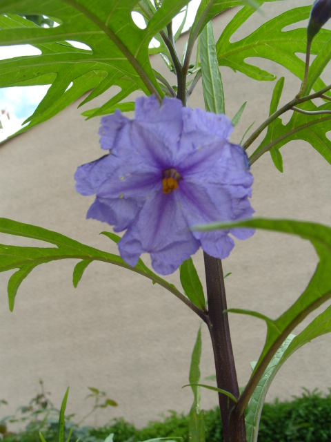 Solanum bleu S1051072