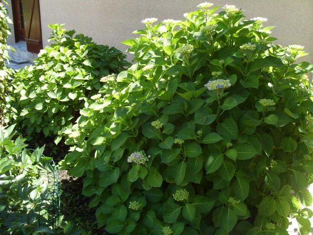 Hortensia des jardins S1051134