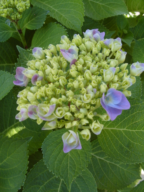 Hortensia des jardins S1051136