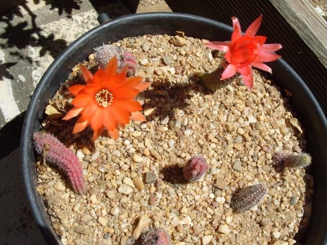 fraisier et coupelle de cactées et succulentes S1051139