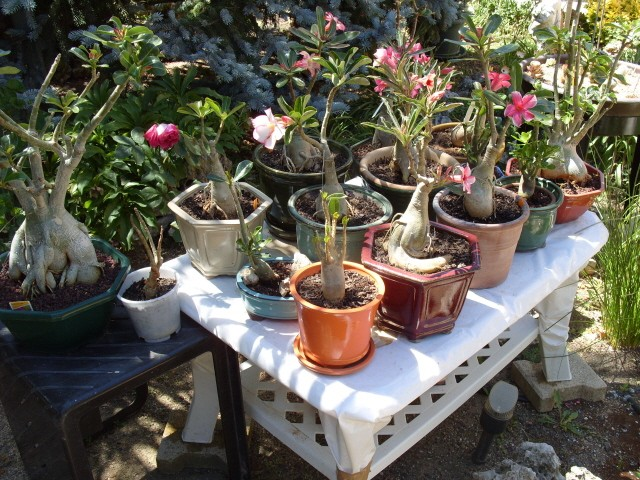nos bonsaïs et autres ficus S1051144