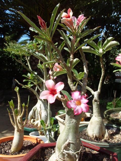 nos bonsaïs et autres ficus S1051145