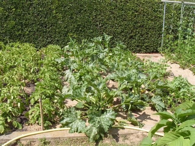 nouvelles plantations de légumes - Page 3 S1051153
