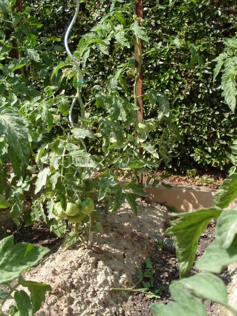 nouvelles plantations de légumes - Page 3 S1051211