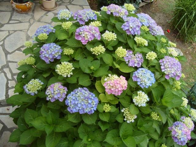 Hortensia des jardins S1051239