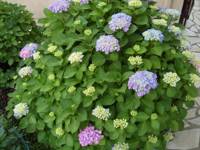 Hortensia des jardins S1051240