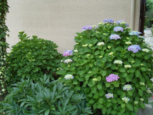 Hortensia des jardins S1051241