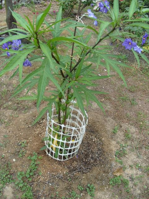 Solanum bleu S1051242