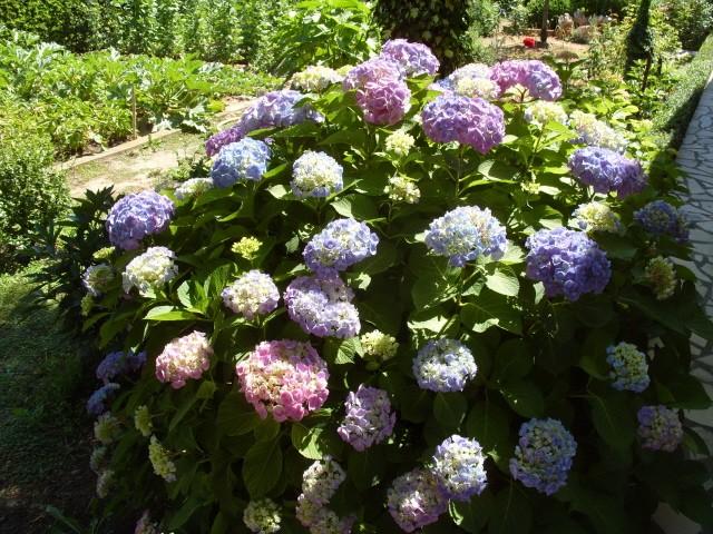 Hortensia des jardins S1051265
