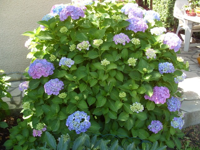 Hortensia des jardins S1051266