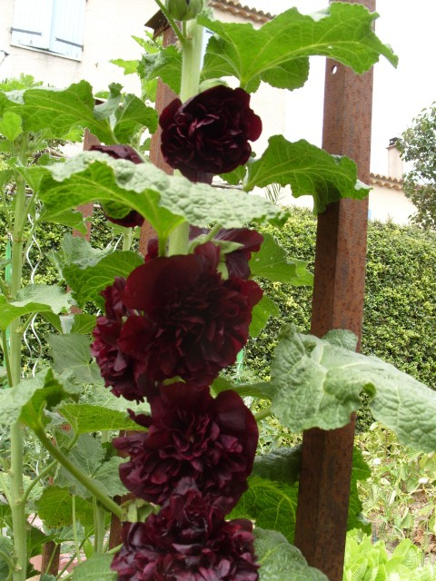 Rose trémière S1051344