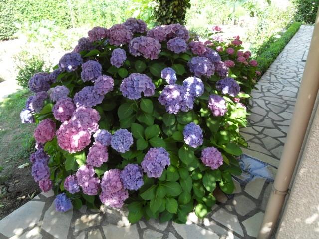 Hortensia des jardins Sdc10019