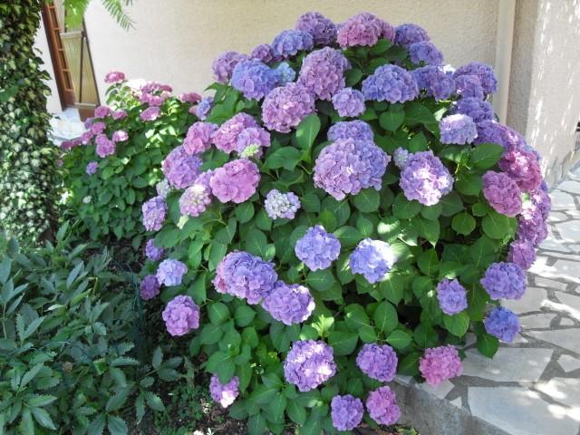 Hortensia des jardins Sdc10020