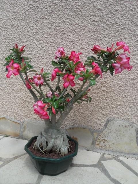 nos bonsaïs et autres ficus Sdc10226