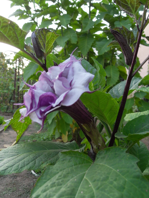 brugmansia - Page 2 Sdc10314