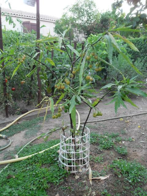 Solanum bleu Sdc10316