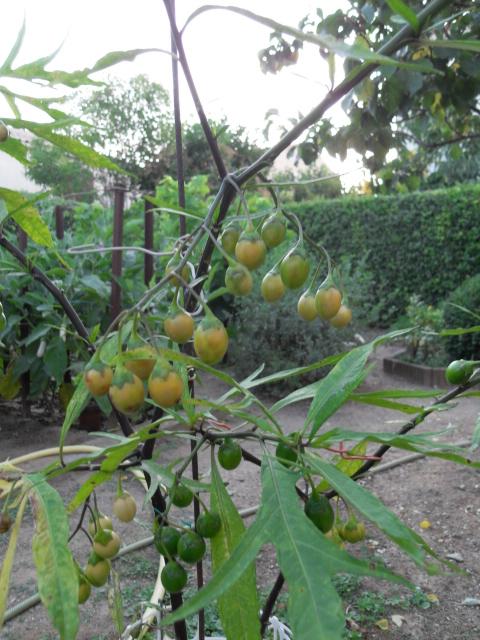Solanum bleu Sdc10317