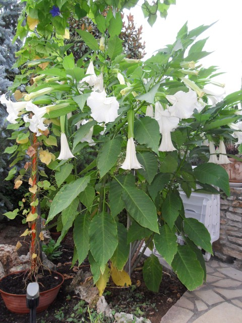 brugmansia - Page 2 Sdc10326