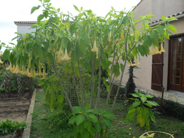 brugmansia - Page 2 Sdc10727