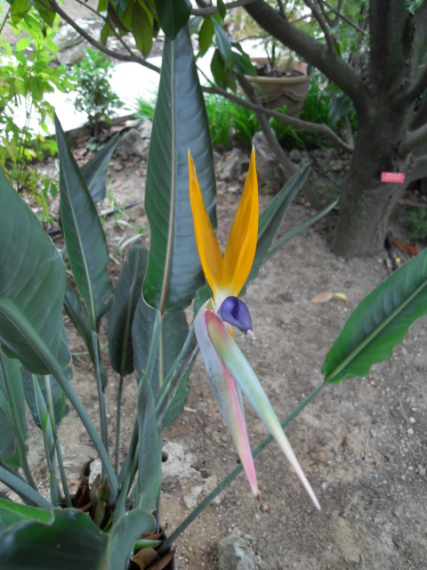oiseau de paradis Sdc10811
