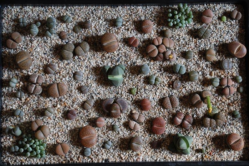 Images de cactus. Lithop11