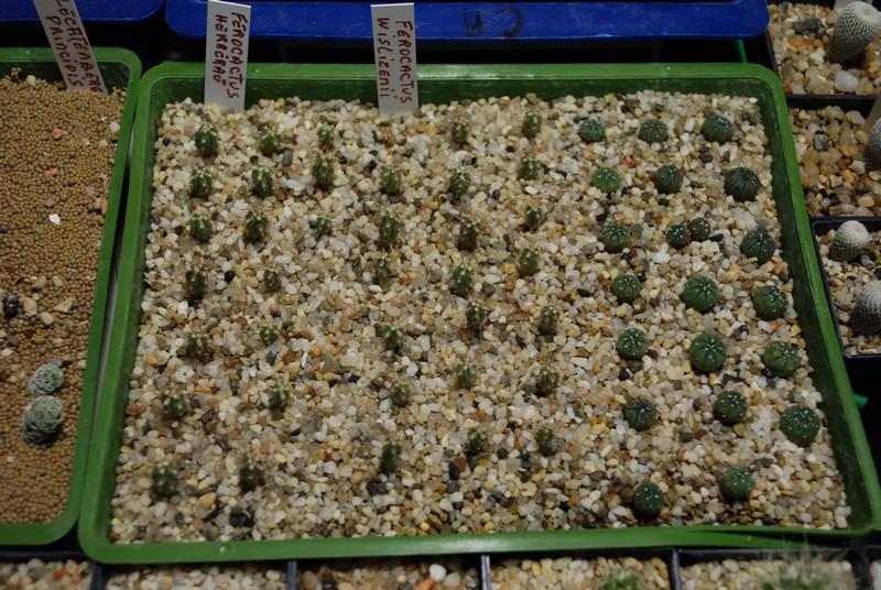 Semis de cactus 2009 chez Aboun Semis_14
