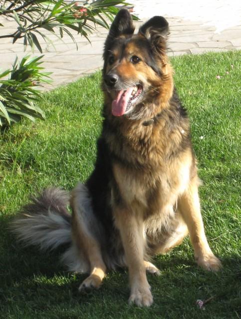 Quel est le plus beau chien croisé que vous ayez vu ? Img_6713