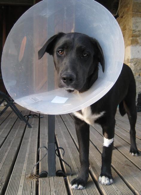 Comment s'est passé la castration de votre chien ? Img_7111