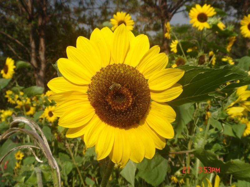 T.H maging Photographer? Sunflo10